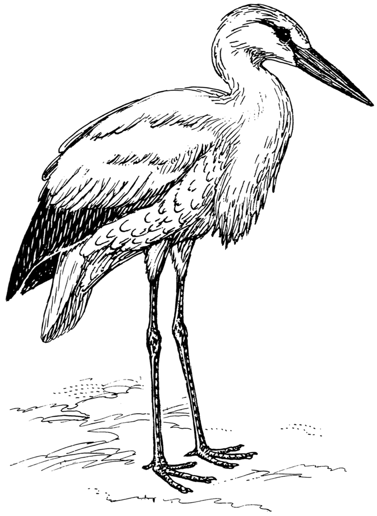 stork-wikipedia-commons