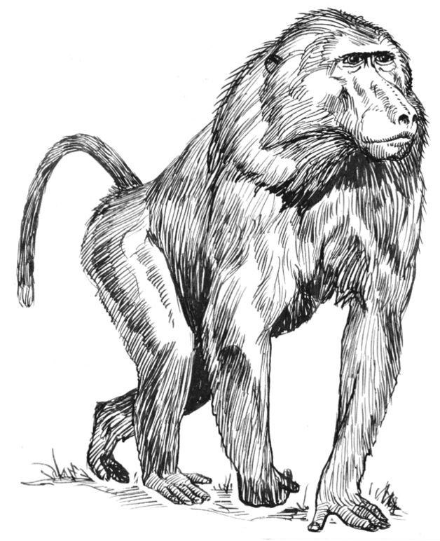 Baboon illustration from Wikipedia. Used under Creative Commons.