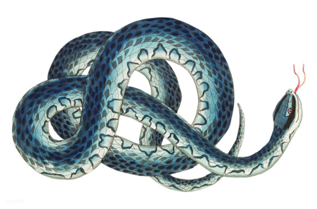 Snake illustration by Frederick P. Nodder, published in The Naturalist's Miscellany (1801), Nodder & Co.
