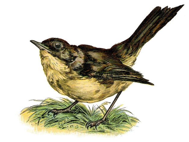 Vintage illustration of a nightingale. Circa 1890's.
